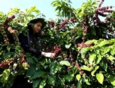 Nécessiter d'élever la valeur ajoutée pour la filière café du Vietnam