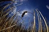 Flambée du blé: pas de panique pour la sécurité alimentaire