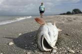 Une marée rouge décime la population aquatique de la côte ouest de la Floride