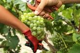 Champagne en France: coup d'envoi des vendanges précoces