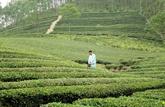 Les exportations de thé vers les États-Unis en bonne voie