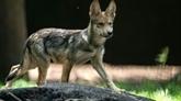 France: présence d'un loup hybride dans les Pyrénées-Atlantiques