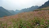 Bientôt la 4e fête des fleurs de sarrasins sur le plateau karstique de Dông Van