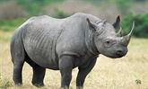 Un court-métrage appelle à la fin du massacre des rhinocéros