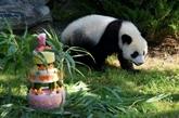 À Beauval, le bébé panda Yuan Meng fête son premier anniversaire avec ses fans