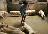 Peste porcine: le Vietnam reste jusqu'à présent épargné