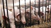 La France appelle à la mobilisation contre la peste porcine africaine