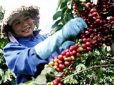 L'Union européenne, premier marché à l'exportation du café vietnamien
