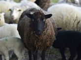 Anthrax dans les Hautes-Alpes: instauration de la vaccination animale