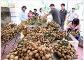 Hanoï exporte 19 tonnes de longanes aux États-Unis et en Europe