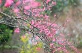 Diên Biên: deuxième festival des fleurs de cerisier à Pà Khoang