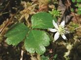 Le coptide à trois feuilles
