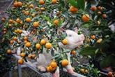 À la découverte d'un jardin de kumquats au village de Tu Liên