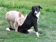 Le cochon, mon voisin