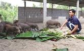 Le cochon du paysan