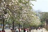 La fête des fleurs de bauhinie en mars à Diên Biên