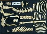 Un fossile de cerf préhistorique très bien conservé découvert en Argentine
