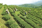 Phu Tho valorise la production de thé vert