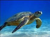 Conservation des tortues marines : la 8e réunion des États signataires à Dà Nang
