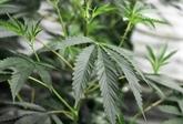 Cannabis : pas de preuve d'efficacité contre les troubles mentaux selon une étude
