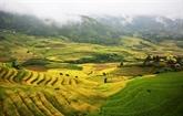 Lào Cai : la beauté des rizières d'Y Ty à la saison du riz mûr