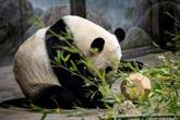 Bye bye Bei Bei : Washington fait ses adieux à son panda bien-aimé
