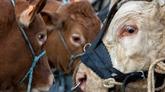 Lutilisation dantibiotiques sur les animaux délevage ne baisse plus