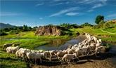 Le mouton au Vietnam