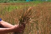 Dérèglement climatique : lagriculture du Tây Nguyên en danger