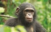 Cameroun : une nouvelle vie pour des primates rescapés du braconnage