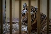 Cinq tigres rescapés sont partis pour l'Espagne