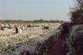 Hanoï à la saison du chrysanthème des Indes