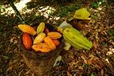 Dans le sud de Bahia, l'indication géographique dynamise le cacao brésilien