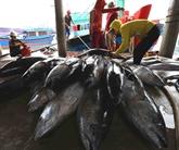 Rebond des exportations de thon en novembre