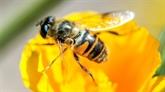 Abeilles : la justice interdit la vente en France de deux pesticides