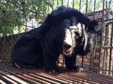 Sauvetage d'un ours noir d'Asie capturé depuis près de 30 ans