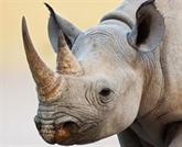 Livraison des cornes de rhinocéros saisis à l'aéroport Nôi Bài pour l'Afrique du Sud