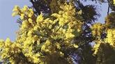 France: sur la route du mimosa
