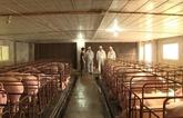 La FAO aide le Vietnam à lutter contre la peste porcine africaine