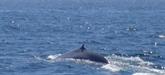 Les baleines bleues préfèrent ne pas prendre de risques