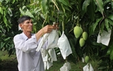 Vinh Long: coopération dans l'exportation de mangues vers le marché américain