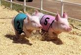 Courses de cochons à Cân Tho