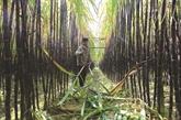Hoà Binh exporte de la canne à sucre violette au Japon