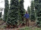 Le poivre de Quang Tri répond aux normes des marchés américain et européen