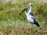Des bec-ouvert indiens affluent au jardin d'oiseaux de Bac Liêu