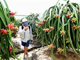 Plus de 80% des fruits du dragon du Vietnam exportés en Chine