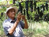 Fête du vin et des raisins de Ninh Thuân 2019