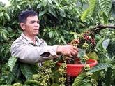 Un projet de production durable de café profite aux agriculteurs de Lâm Dông