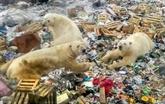 Dans l'Arctique russe, les ours polaires menacés par une présence humaine accrue