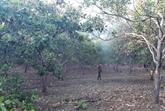 Un groupe néerlandais veut investir dans la culture d'anacardiers propres à Binh Phuoc